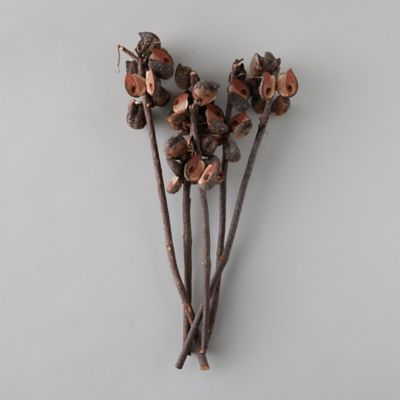 Dried Hakea Bunch
