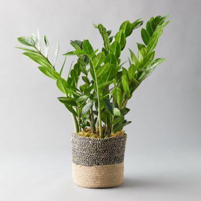 ZZ Plant, Jute Pot