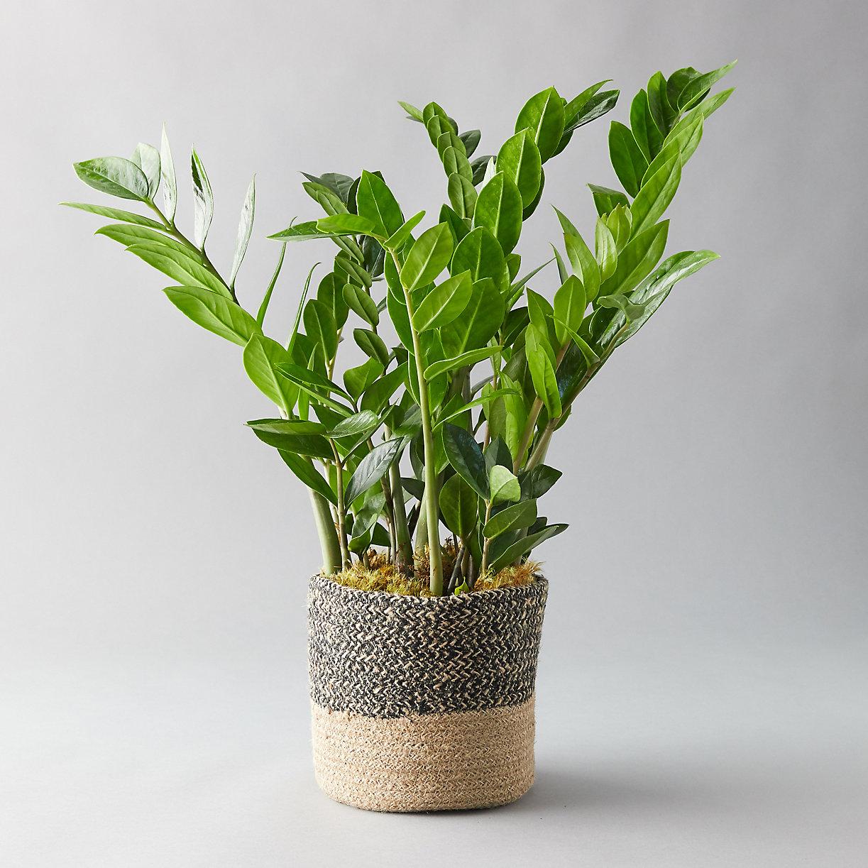ZZ Plant, Jute Pot - Terrain on african violets care, dwarf umbrella tree care, pets care, plant care, geraniums care, flower care, landscaping care,
