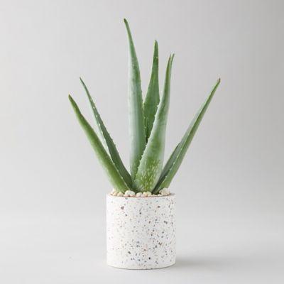 Aloe Plant, Terrazzo Pot