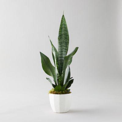 Snake Plant, Geo White Pot