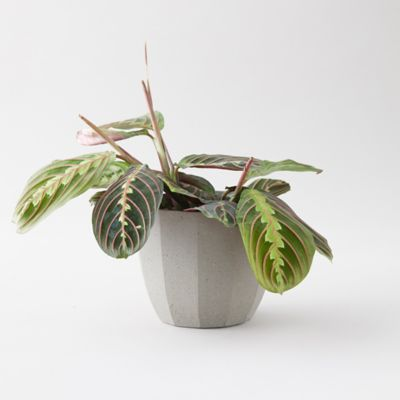 Prayer Plant, Gray Ceramic Pot