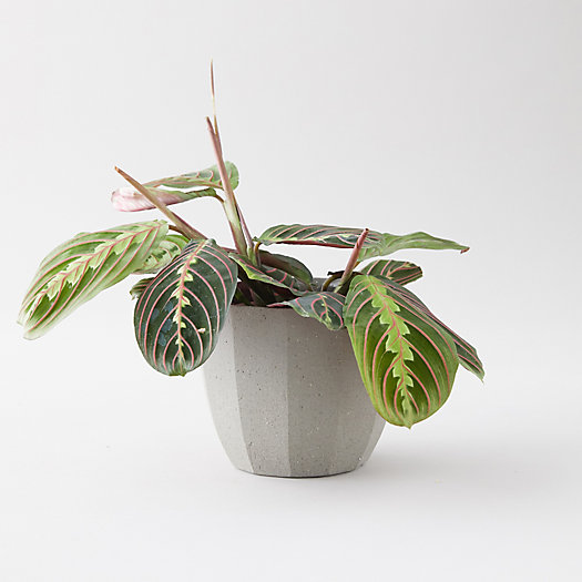 View larger image of Prayer Plant, Gray Ceramic Pot