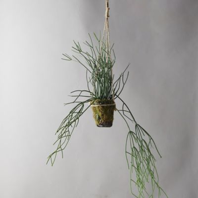 Faux Potted Rhipsalis