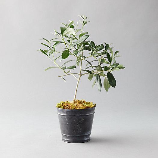 View larger image of Olive Tree, Black Pot