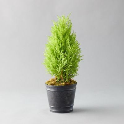 Lemon Cypress Topiary, Black Pot