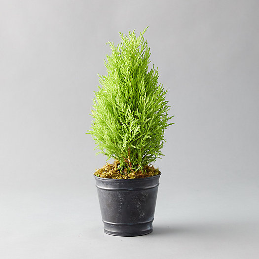 View larger image of Lemon Cypress Topiary, Black Pot