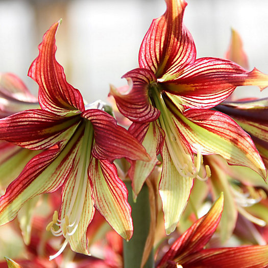 View larger image of Mystica Amaryllis Bulb