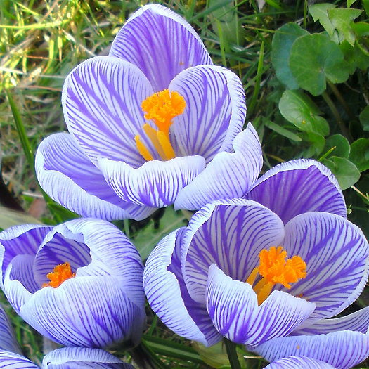 View larger image of Crocus Pickwick Bulbs