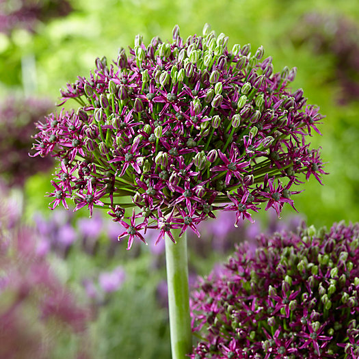 View larger image of Allium 'Magic Shubertii' Bulbs