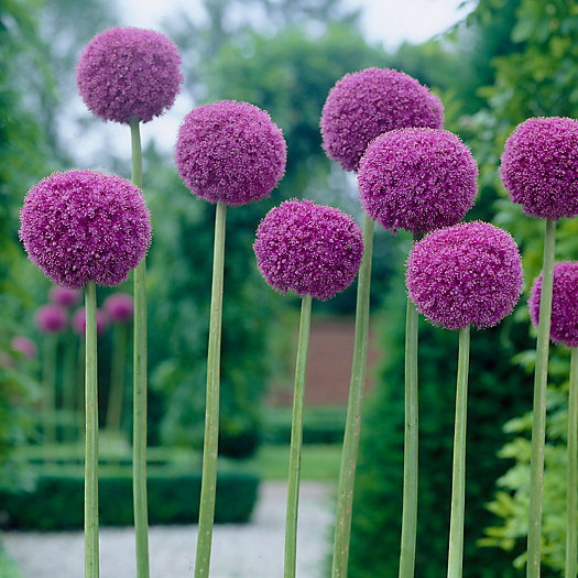 View larger image of Allium Giganteum Bulbs