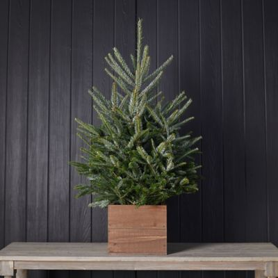 Fresh Tabletop Fraser Fir