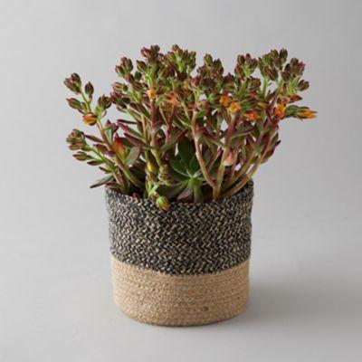 Red Velvet Echeveria, Striped Jute Pot