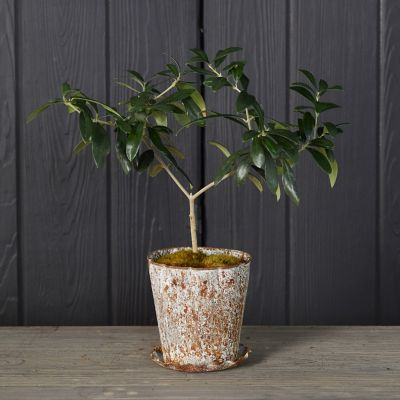 Olive Tree, Distressed Pot