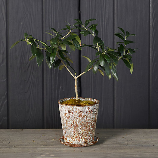 View larger image of Olive Tree, Distressed Pot