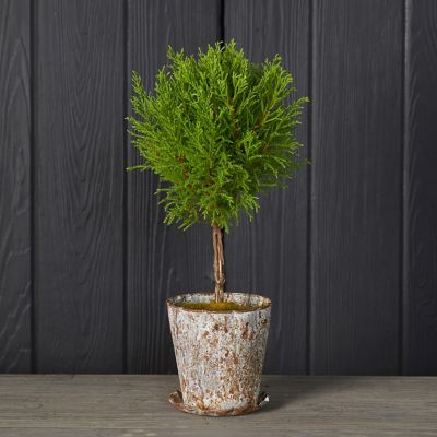 Lemon Cypress Topiary, Distressed Metal Pot