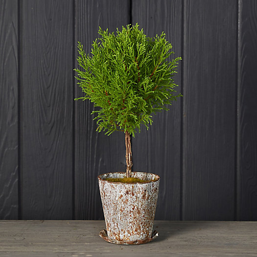 View larger image of Lemon Cypress Topiary, Distressed Metal Pot
