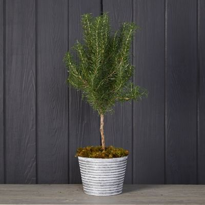 Rosemary Topiary, Ribbed Metal Pot