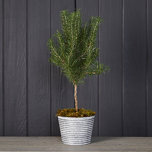 View larger image of Rosemary Topiary, Ribbed Metal Pot