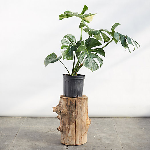 View larger image of Monstera Deliciosa Variegated Plant