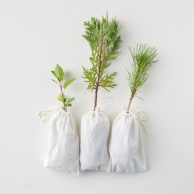 Live Evergreen Saplings
