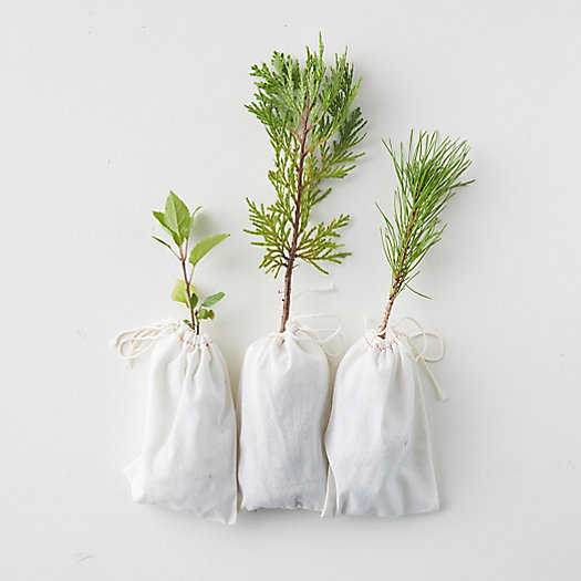 View larger image of Live Evergreen Saplings