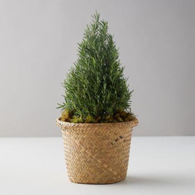Rosemary Cone Medium Topiary, Basket Pot