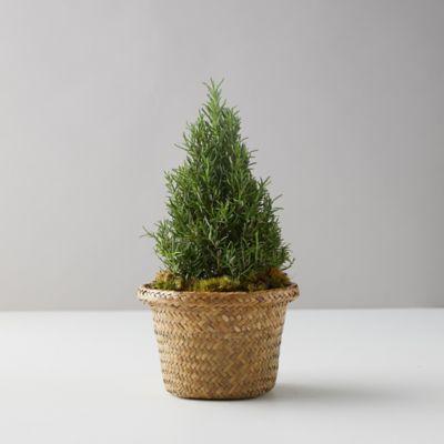 Rosemary Cone Small Topiary, Basket Pot