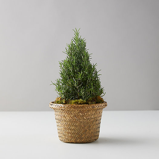 View larger image of Rosemary Cone Small Topiary, Basket Pot