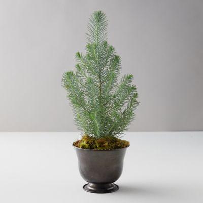 Shore Pine Topiary, Black Metal Pot