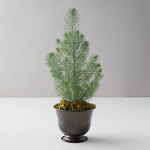 View larger image of Shore Pine Topiary, Black Metal Pot