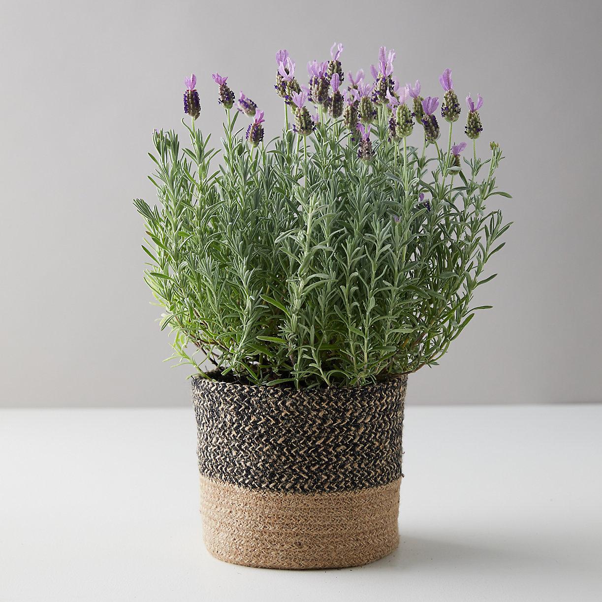 Spanish Lavender, Jute Pot