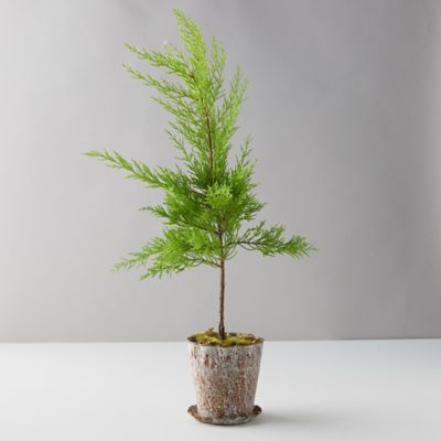 Lemon Cypress, Distressed Metal Pot