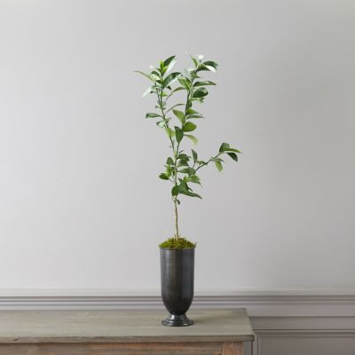 Meyer Lemon Tree, Metal Urn