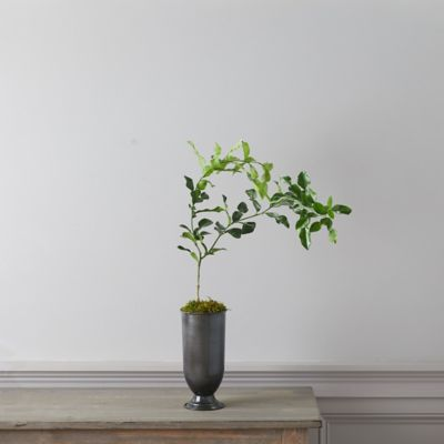 Makrut Lime Tree, Metal Urn