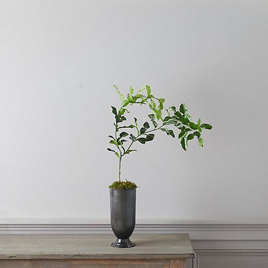 View larger image of Kaffir Lime Tree, Metal Urn