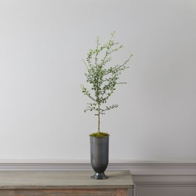 Australian Finger Lime Tree, Metal Urn