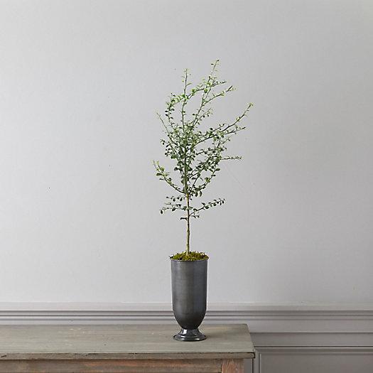 View larger image of Australian Finger Lime Tree, Metal Urn