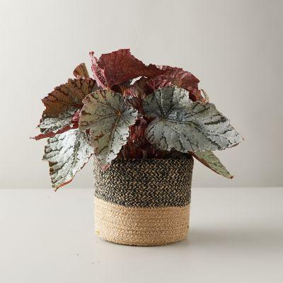 Rex Begonia Plant, Jute Pot