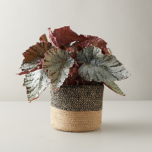 View larger image of Rex Begonia, Jute Pot