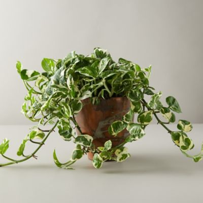 Pothos Plant, Marbled Copper Pot