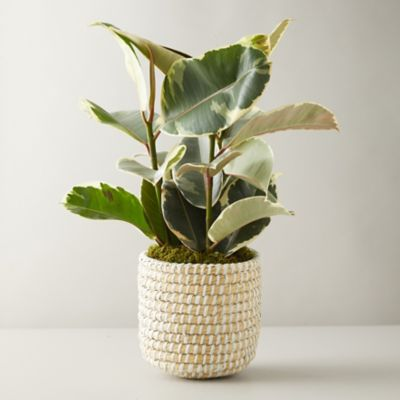 Ficus Tineke Plant, Basket Pot