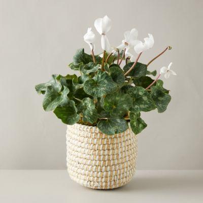 Cyclamen White Plant, Basket Pot