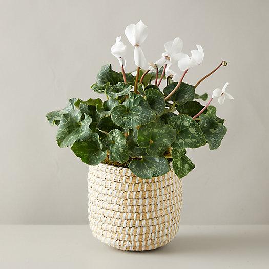 View larger image of Cyclamen White Plant, Basket Pot