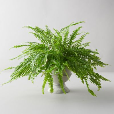 Boston Fern, Gray Urn