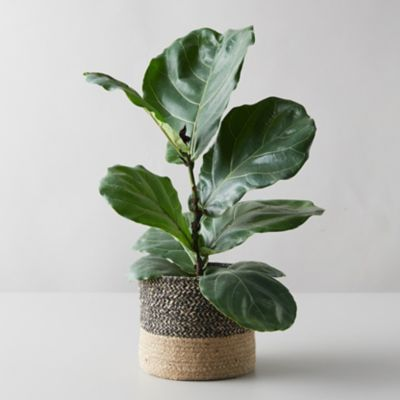 Fiddle Leaf Fig Plant, Jute Pot