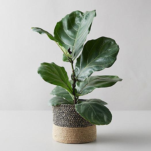 View larger image of Fiddle Leaf Fig, Jute Pot
