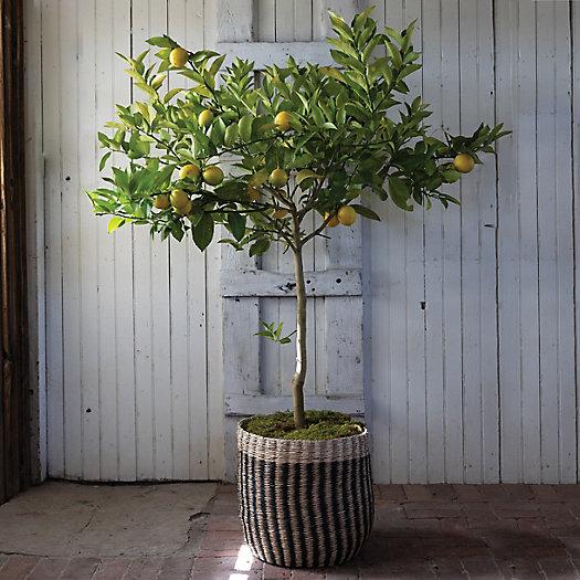 View larger image of Natural Stripe Basket Pot