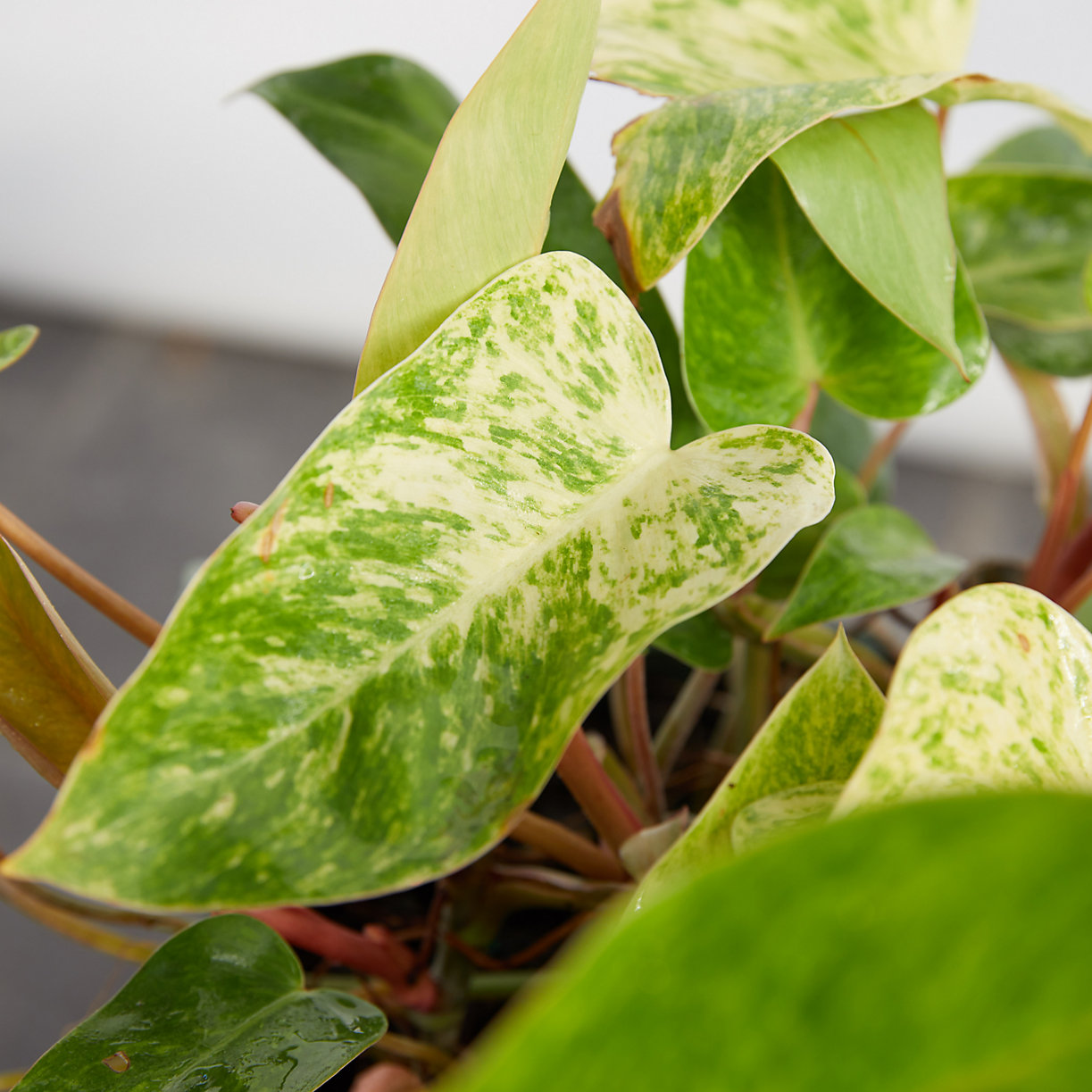 Philodendron Painted Lady - Terrain