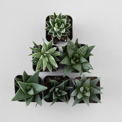 Haworthia Succulent Collection, Set of 6